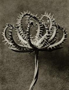Karl Blossfeldt, 'Plate 53 - Koelpinia linearis (Compositae) seed head ', photo-eye Gallery