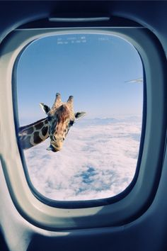 (staycalmandcarryon: detention: my blog will...) #window #flying #giraffe #airplane
