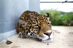 Mylo Xyloto #big #jaguar #cat