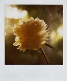 http://amandamarsalis.tumblr.com/ #flower #amanda #marsalis #polaroid