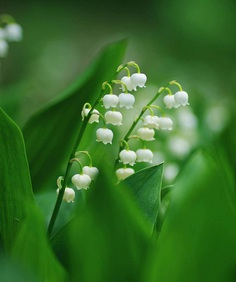 Lily of the valley by Kaori