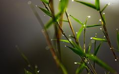 Drops on Bamboo #inspiration #photography #nature