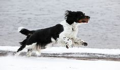 Running Niki | Flickr - Photo Sharing! #movement #hound #snow #fur #running #fast #dog