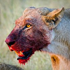 Lioness - Guaila's Commonplace Blog #blood #gore #hunter #brutal #lion #big #cat #meal #lioness #prey #animal