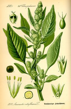Illustration: Amaranthus retroflexus #wilhelm #flora #thom #biology #print #fauna #otto #dr #illustration #and