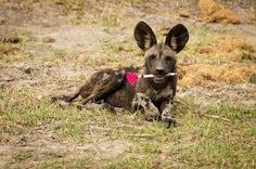 The ecology in action category was won by Dominik Behr for his image of an African wild dog pup playing with a tranquilliser dart in Botswana
