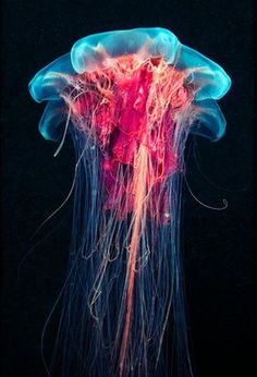 FFFFOUND! | Underwater Experiments: Astounding Photographs of Jellyfish by Alexander Semenov | Colossal #fish #jelly