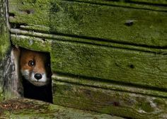 b2ap3_thumbnail_Forest Animals in Abandoned Houses by Kai Fagerstrom 10 600x429.png #house #fox #photo #hole #abandoned