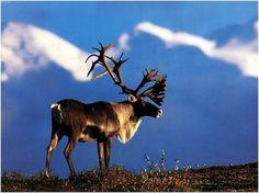 caribou-1.jpg (JPEG Image, 1024x768 pixels) #mountain #field #moose #nature