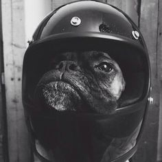 Lifestyle of the Unemployed #animal #dog #helmet #fun #humor