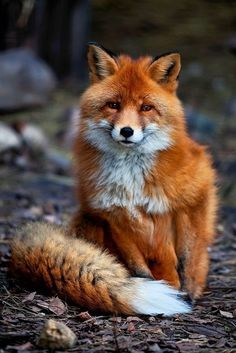 Fox #tail #fox #orange #fur #mammal #photography #animal #beauty