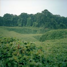 BeyondMonochrome: A (Photo)blog » Blog Archive » Kudzu #green #photography #forest #trees #leaves