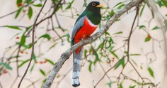 Image result for elegant trogon