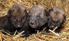 Manvargvalpar födda på Nordens ark - DN.SE #wolves #animal #wolf #cubs