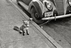 "That Kind Of Woman · October 1940. Moorhead, Minnesota. ""Fox chained to... #photography #black and white #car #automobile #fox"