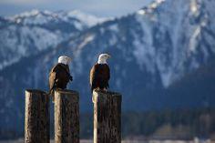 two Bald Eagles #eagles #two #bald