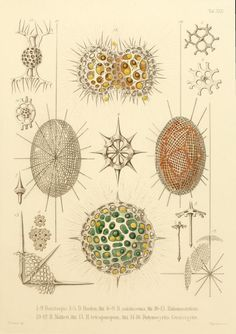 Ernst Haeckel's Radiolaria (1862) / #illustration #abstract