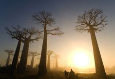 v225h.jpg 1,280×890 pixels #africa #sunset #baobob