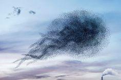 alain delorme captures the balletic murmurations of wild birds #intensity