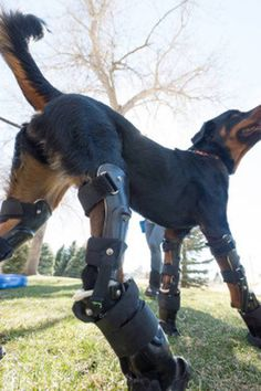 dog, prosthetic, Rottweiler, freedom