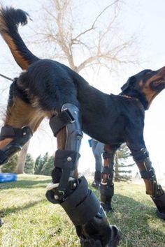 dog, prosthetic, Rottweiler, freedom