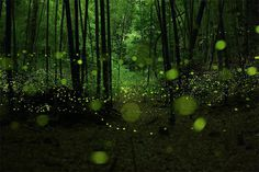 Long Exposure Photographs of Fireflies in the Forests of Nagoya City by Yume Cyan #photography #fireflies