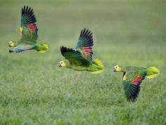 Double Yellow-Headed Amazon Parrot
