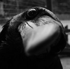 3-inquisitiveness.jpg 600×596 pixels #photography #crow #bird