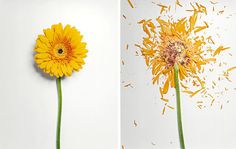 Flowers Soaked in Liquid Nitrogen Shatter on Impact #yellow #nature #flower