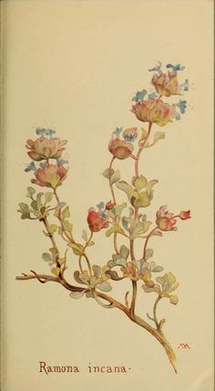 Ramona_incana_by_Margaret_Neilson_Armstrong.jpg (1759×3200)