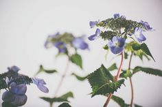 hydrangea7.jpg #photography #plants #studio #flowers
