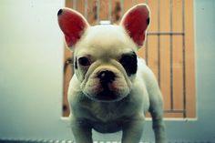 DeadFix #terrier #puppy #boston #dog