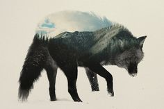 Double Exposure Animal Portraits by Andreas Lie #doubleexposure #animal #portrait #bear #fox #squirrel #wolf