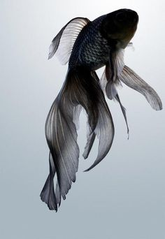 the poetry of material things #fish #goldfish #image #flow #movement