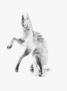 fox #fox