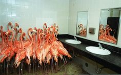 Flamingos take refuge in a bathroom at Miami-Metro Zoo, Sept. 14, 1999 as tropical-storm force winds from Hurricane Floyd approached the Mia #pink #zoo #bathroom #photography #flamingos #miami