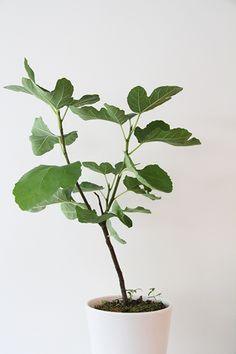 Fiddle-leaf fig in white pot. Via lindsaystephenson.com. #fiddleleaffig #plant