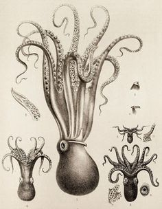 Scientific Illustration   kizioko: squid art (by Vintage Collective) #viontage #illustration #scientific