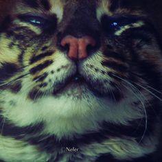 gobernar como un gato ~♛´ •.·♥ | la fotografía | #leopard #wild #eyes #cat #face #animal #baby