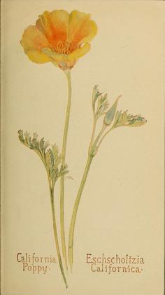 Eschscholtzia_californica_by_Margaret_Neilson_Armstrong.jpg (1798×3200)