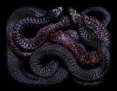 black-snake-color-pattern