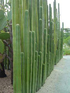 #cactus #fence #green #garden #xeriscaping Pachycereus marginatus - Mexican Fence Post Cactus | World of Succulents
