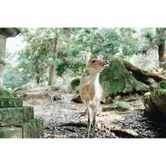 http://instagram.com/charlessabas #deer #japanese #photography #nature #sabas #gorgeous #charles #peaceful #japan