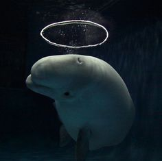 Jay Mug  This Japanese Beluga whale has become a sensation...