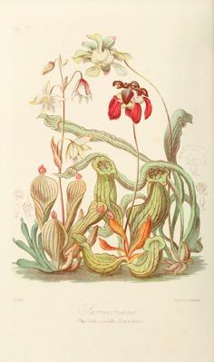 Elizabeth Twining #illustration #plants #flower