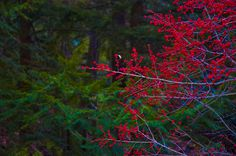 Photography #berries #red #contrast #forest #green