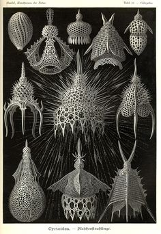 Ernst Haeckel, Table 31 Cyrtoidea, from Kunstformen der Natur (Art Forms of Nature) 1899-1904. #biology #anatomical #illustration #vintage #animals #drawing
