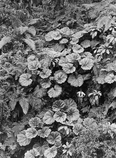 "natgeofound: "" A man stands dwarfed under the Ape-Ape leaves of Puohokamoa Gulch in Maui, Hawaii, 1924. Photograph by Gilbert H. Grosvenor, National Geographic Creative """