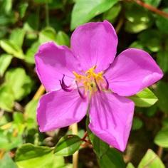 Dissotis Rotundifolia Flower Picture
