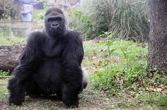 Gorilla #animal #gorilla #nature